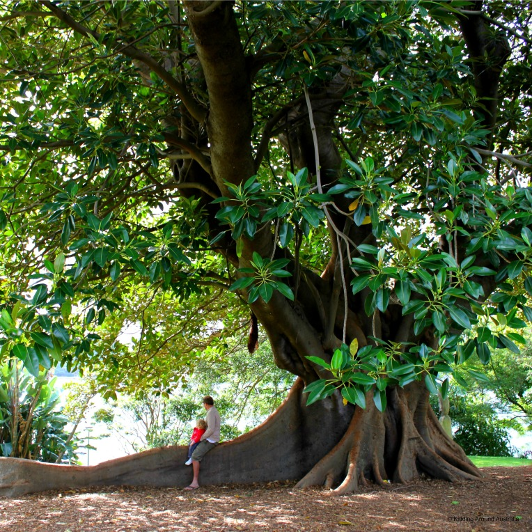 Moreton Bay Fig, Sydney Botanical Gardens
