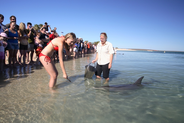 Shark-Bay-and-surrounds-Monkey-Mia-dolphin-feeding.jpg